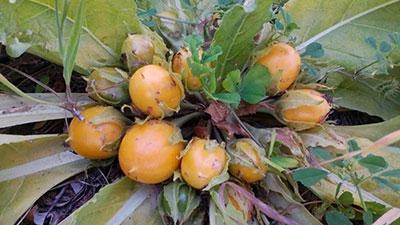 Растение мадрагора