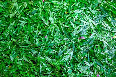 Заготовка сырья для копорского чая