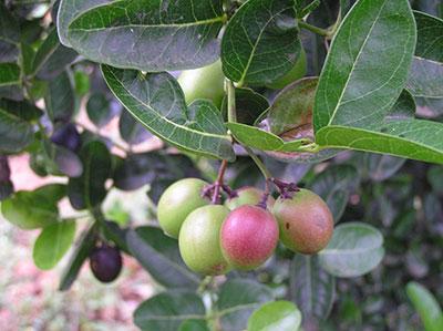 Кофейные бобы или плоды кассии александрийской
